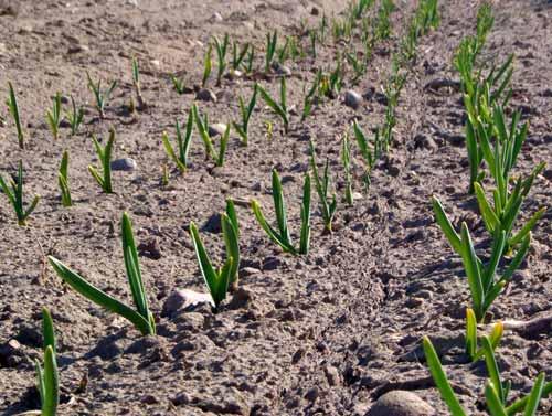 Garlic knows that Spring is just around the corner.