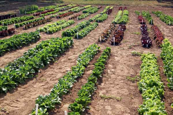 A sunny day for a lettuce crop with green and purple lettuces.