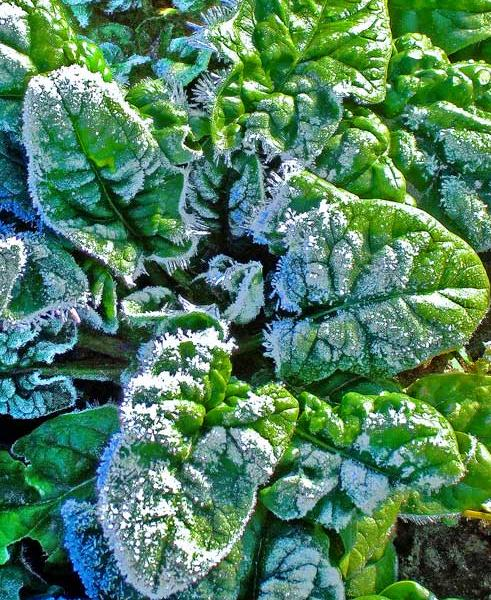 The delightfully mild fall has allowed most gardeners to maintain a good supply sweet and tasty leafy greens.
